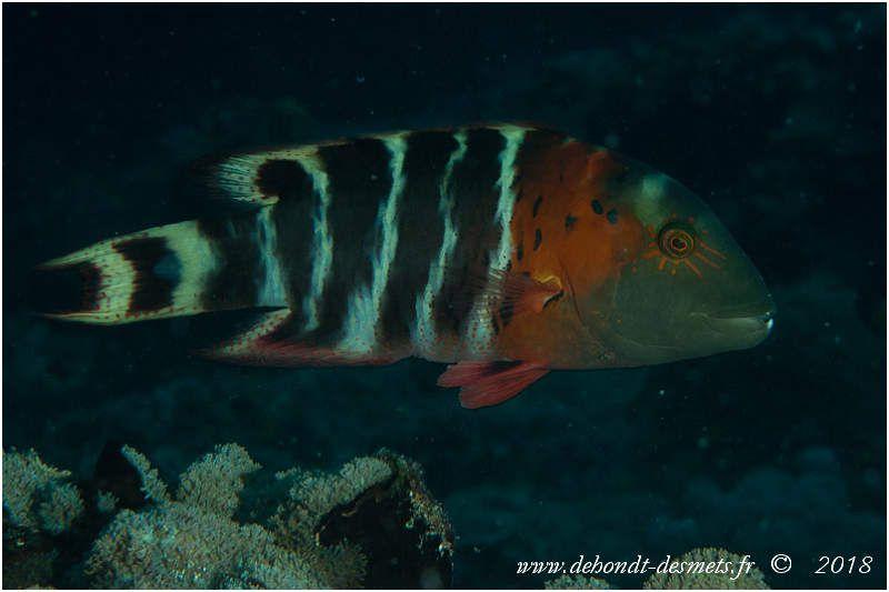 Vieille rayée ou labre à poitrine rouge ou Labre maori rayé (Cheillinus fasciatus)