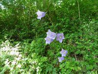 Sur le sentier vers le Pas de l'Âne. Des bouquets de campanules.
