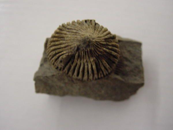 """<p> Les principaux fossiles que l'on peut découvrir dans un rayon de 30 kilomètres autour de Couvin. </p> <p> Phil """"Fossil"""" </p>"""