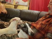 Chiot levrier whippet blanc taches bringées a adopter