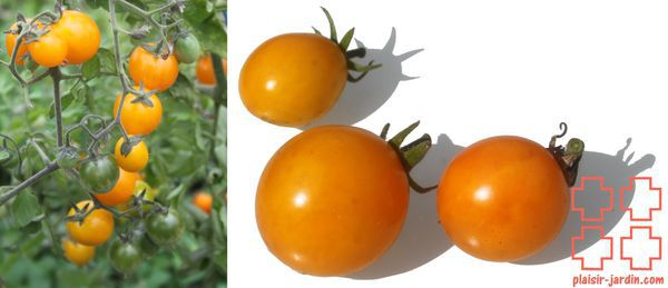 Tomate cerise 'Gold nugget'