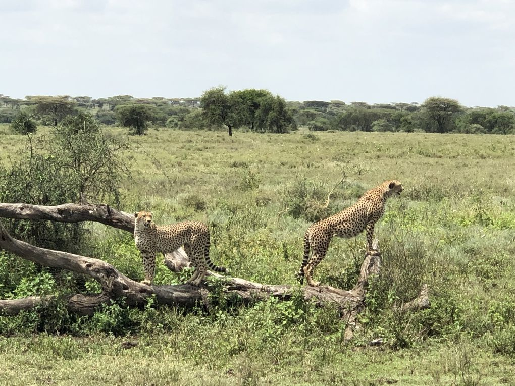 Tanzanie - Parc National de Serengeti. 3/3.