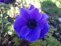 Anémone Mr Fokker, Fritillaire meleagris et persica, Tulipe Black parrot, Ice cream, Bleu aimable et Blue Heron, Allium purple sensation
