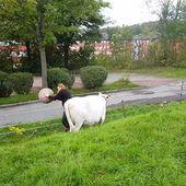 Une vache joue à la balle avec une fermière