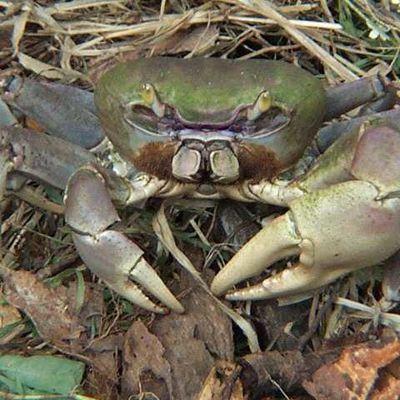 Poutchi krab pa ni tèt