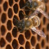 13h15, le dimanche... Abeilles : to bee or not to be