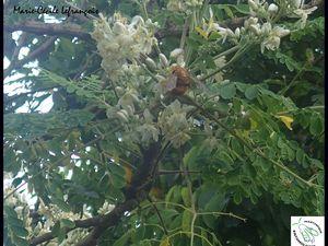 Un vonvon mâle, couleur or, butinant dans des fleurs de moring