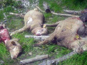 Lambruisse , le troupeau attaqué juin 2018