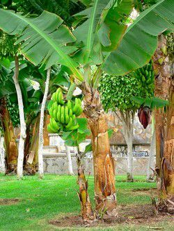 Banane plant while in the garden