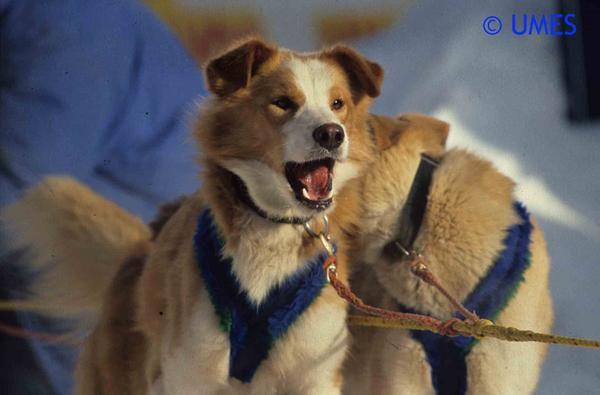 Photos de diverses courses de chiens de traineau sur lesquelles l'UMES est présente.