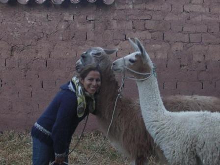Sariri, marcheur en aymara, nouveau membre de la famille. LAma de la region d´Espinar, Cusco, a été élu champion de sa catégorie dent de laie! Un futur grand marcheur du Qhapaq Ñan!!