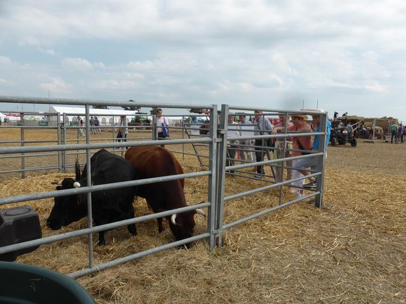 et des petites vaches... race Dexter... d'origine irlandaise issues du bétail noir des Celtes...environ 1m au garrot...