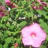 Video: Hibiscus moscheutos (fleurs géantes) Jardin d'Alsace, Haguenau - Doc DORFFER Patrick