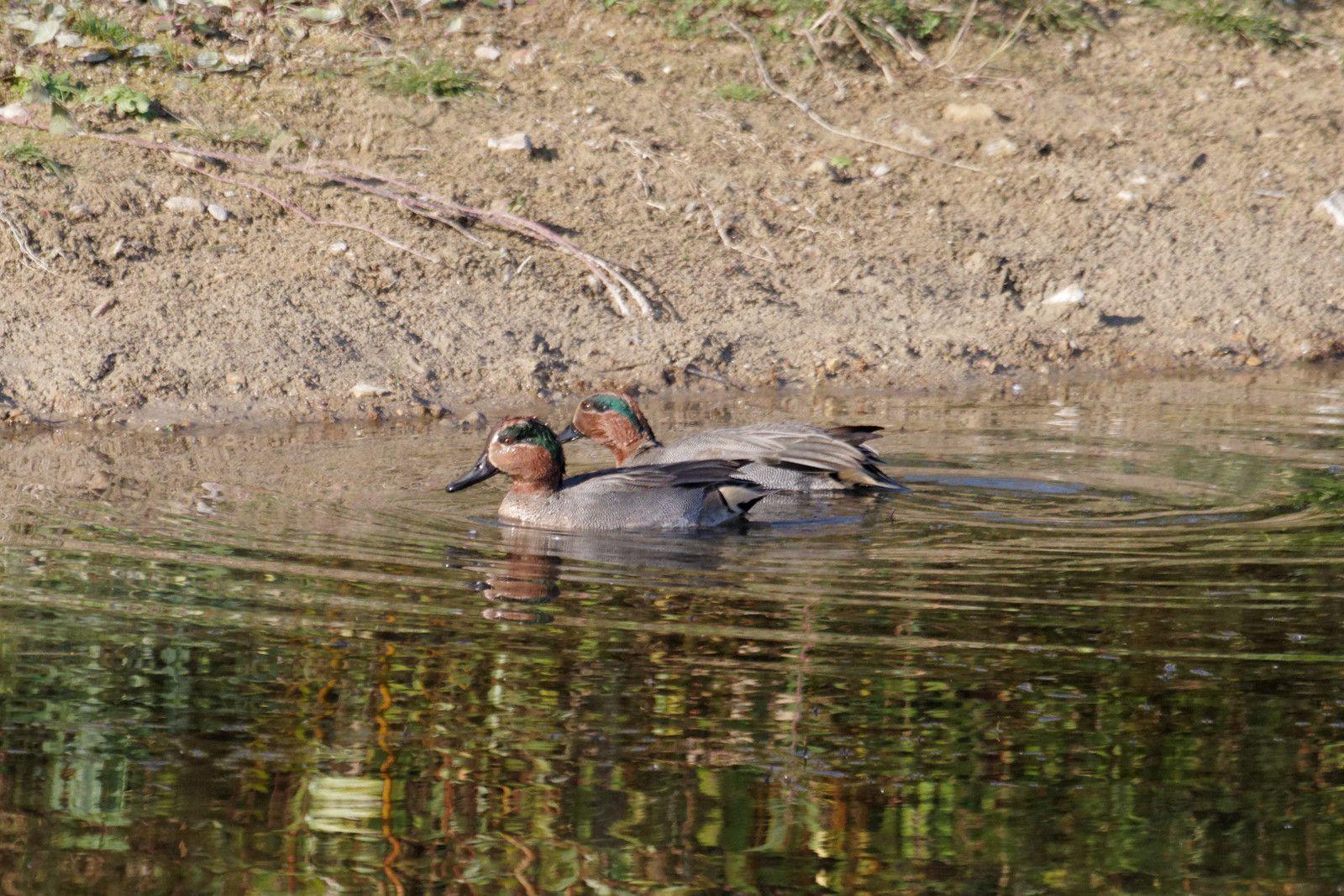 10 - Canards, foulques et fuligules à la Haute-Île