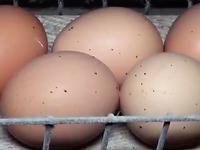 L214 dénonce les conditions sanitaires d'un élevage de poules en cages