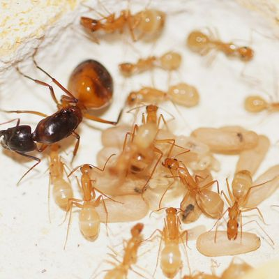 Mes Camponotus africaines