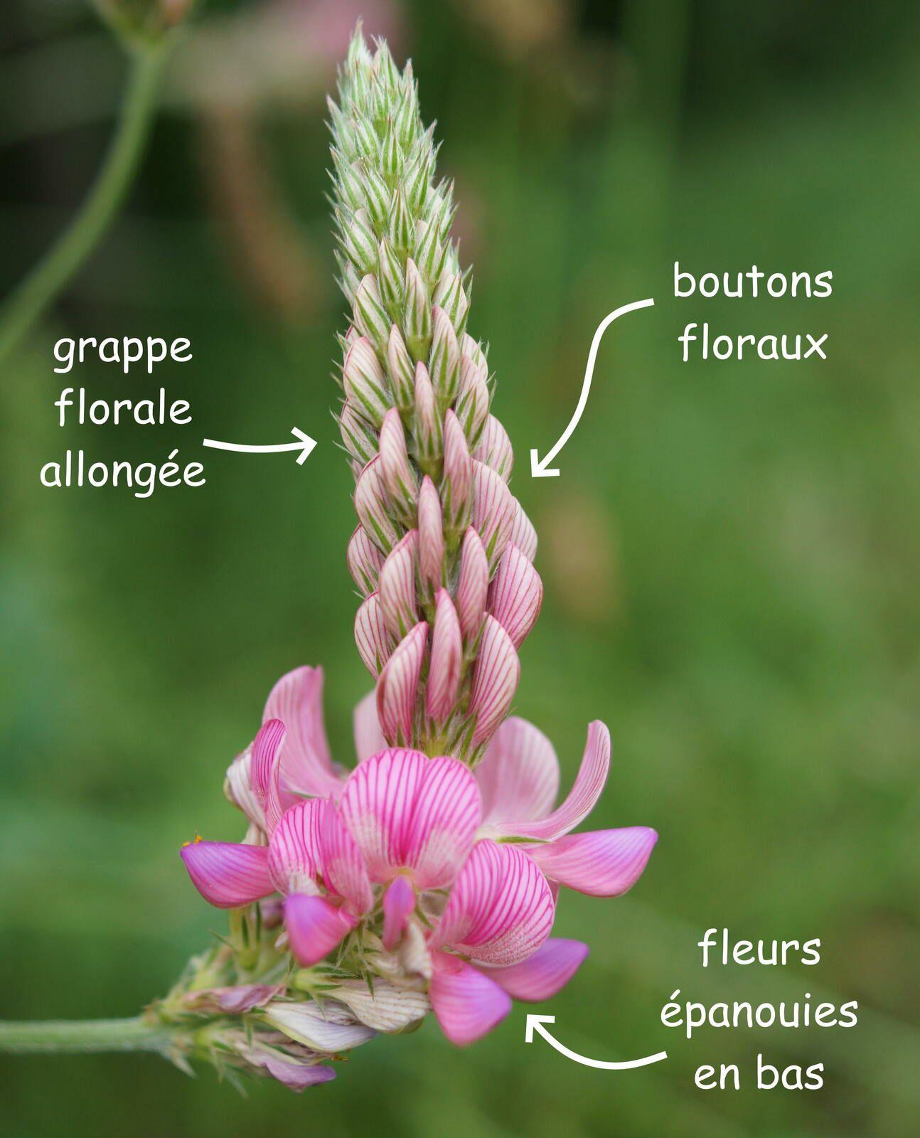 Grappe de fleurs de Sainfoin