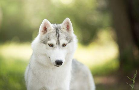 On adopte un chien chien : Husky de Sibérie !