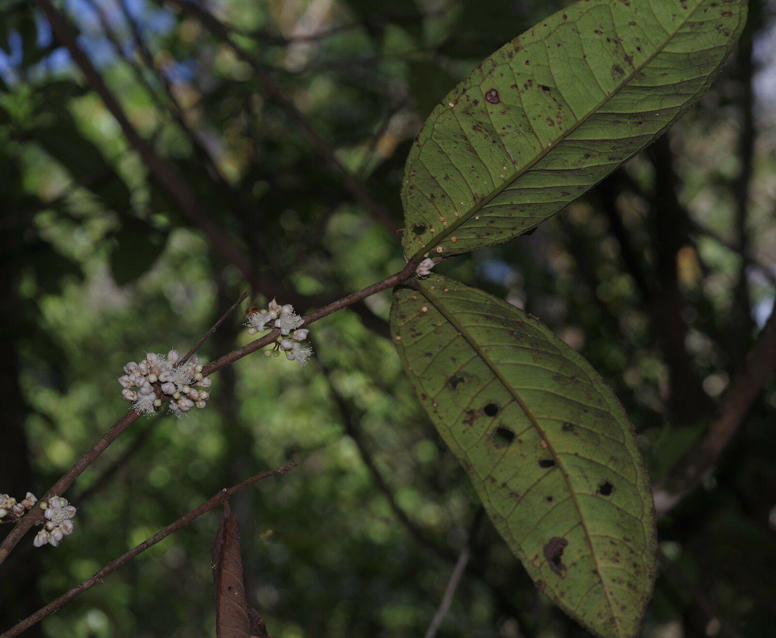Eugenia latifolia