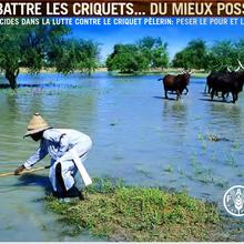 Lutter contre les nuées de criquets avec des « pesticides biologiques » : ils sont fous !