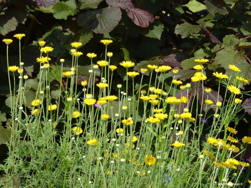 Devant le noisetier pourpre, entre deux variétés de  coquelourdes des jardins.