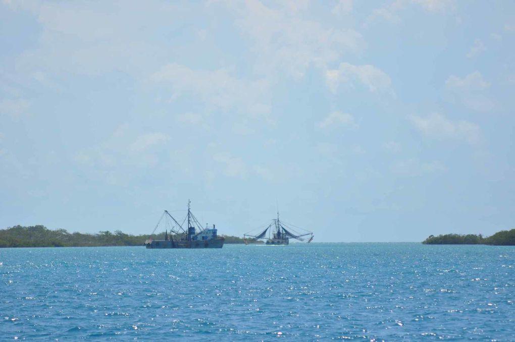 Cayo Gomez : Crevettes des Caraibes
