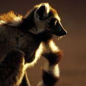 Un plan pour sauver les lémuriens de Madagascar
