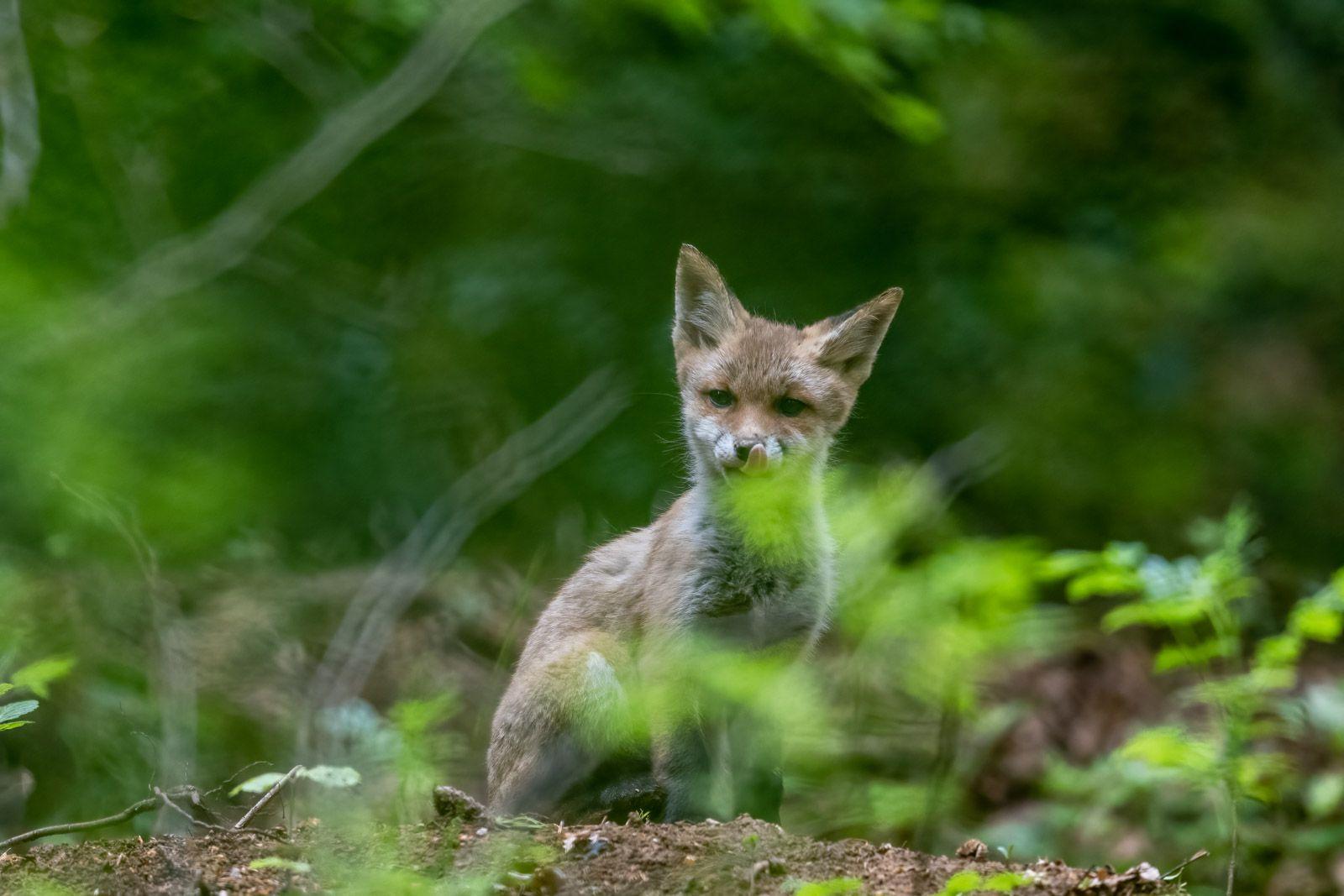 Renardeaux et renards dans le Haut doubs