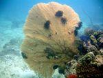 Voyage-plongée: Annella mollis, Gorgone géante de Samal, Philippines