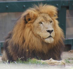 Photo taken of another magnificent male at the Houston Zoo.