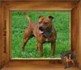 Elevage Staffordshire Bull Terriers - Chris et Brian