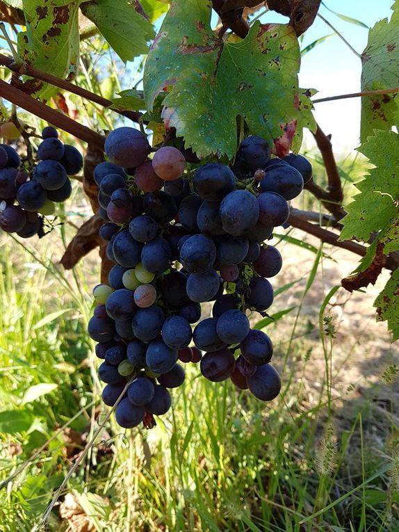 Les Amis de la Bastide Marin autour de la vigne pédagogique
