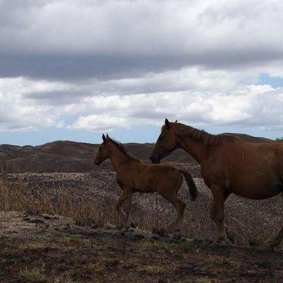 Les chevaux sauvages de Nouvelle Calédonie