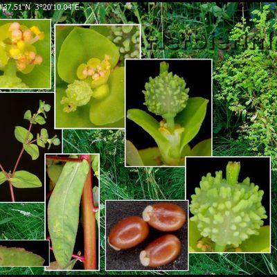 Euphorbe raide  (euphorbia serrulata-euphorbia stricta)