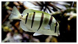 perciformes : acanthuridés (poissons)