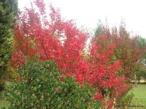 Secteur sud du Jardin de Frescati : Lagerstroemia