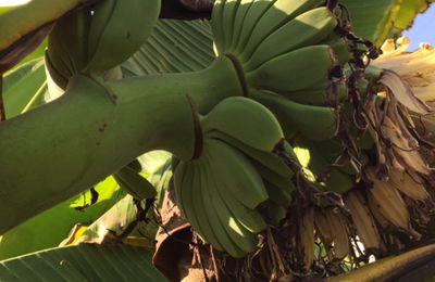 Mes Bananiers