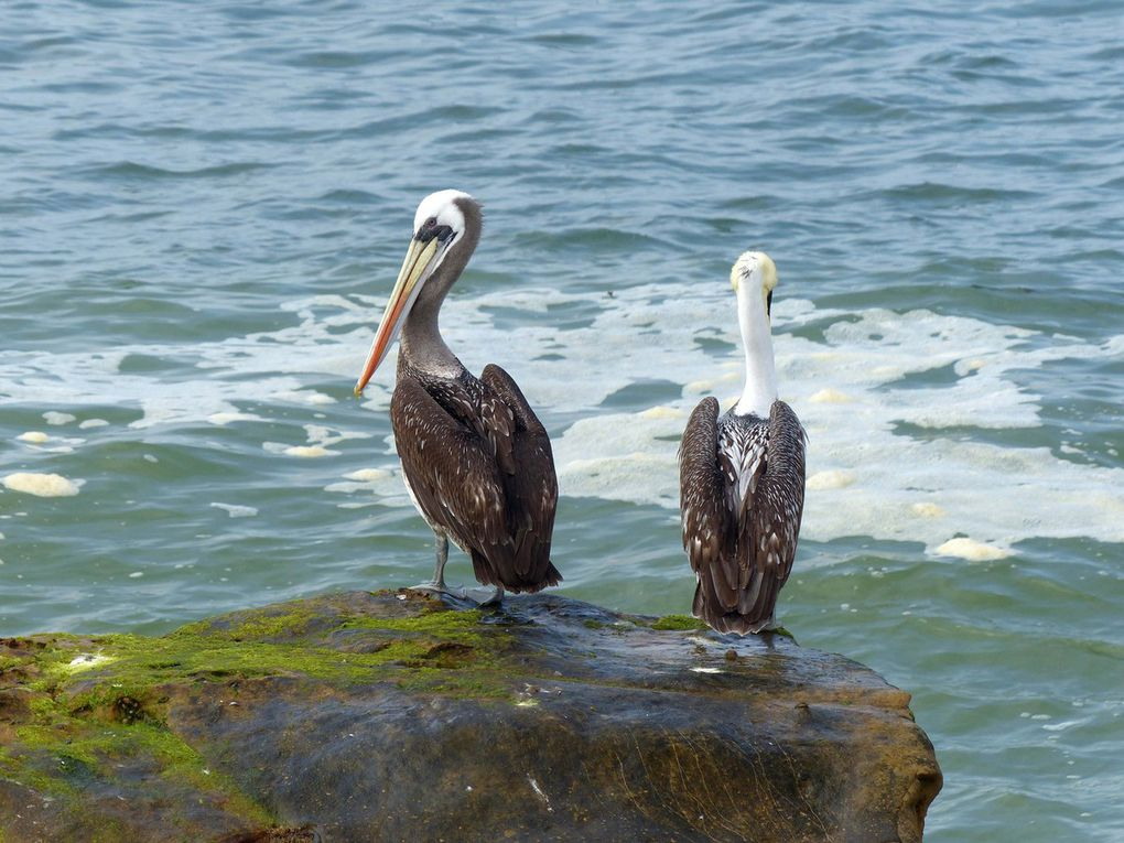 Brown Pelican, Pelecanus occidentalis carolinensis (Chili)