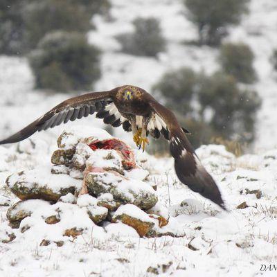 ( Aquila chrysaetos ) Águila real