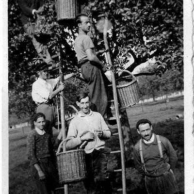 Récolte de pomme Dans le Quercitain à la fin des années 1950