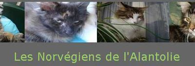 Chatons Norvégiens