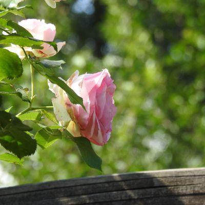 Ces quelques roses ...