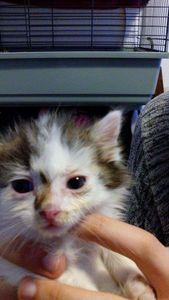 Madison, chaton femelle, à l'adoption -> adoptée