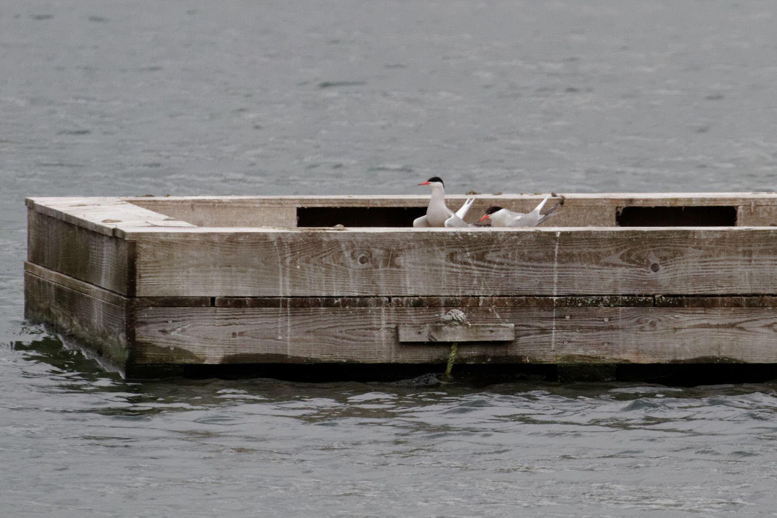 9 - Les sternes pierregarins à la Haute-Île