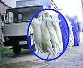 Così vengono  macellati gli agnelli    Per Pasqua video choc degli animalisti