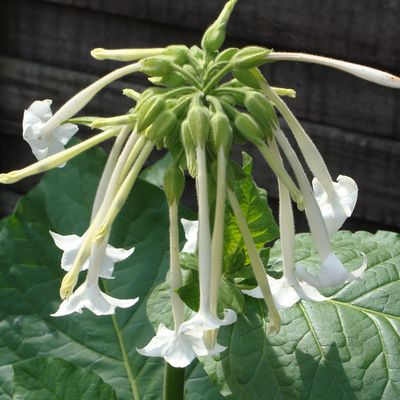TABAC D'ORNEMENT ou NICOTIANA