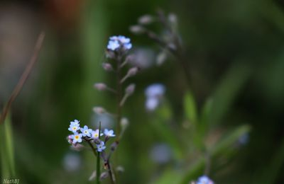 "Myosotis "" Forget me not"""