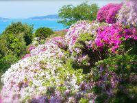 Fleurs de pruniers 梅 (oumé), fleurs de cerisiers 桜 (sakoula), buissons d'azalées 躑蠋 (tsutsuji)