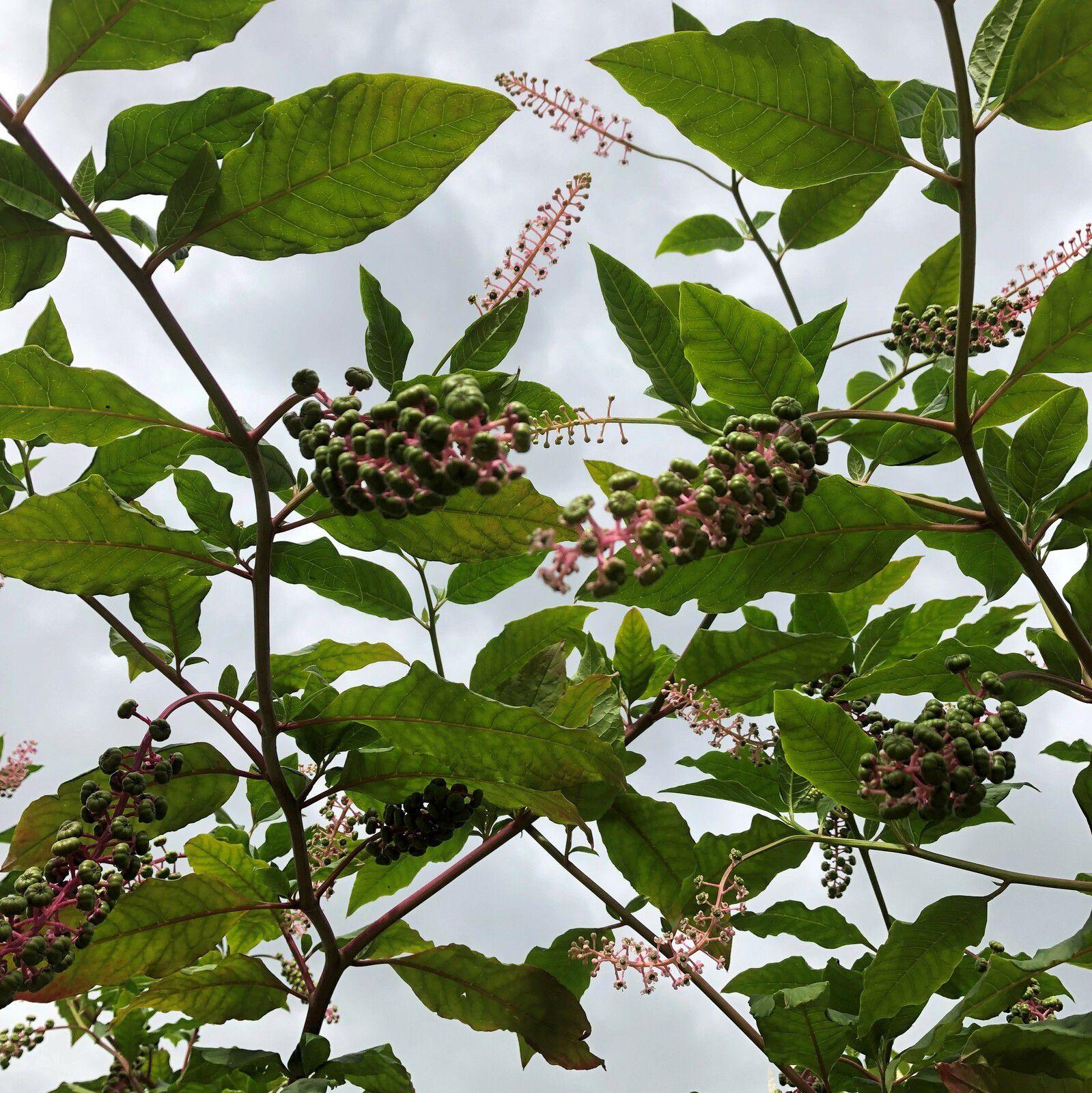 Phytolacca americana teinturier plante à encre rouge phytolaque raisin d'Amérique
