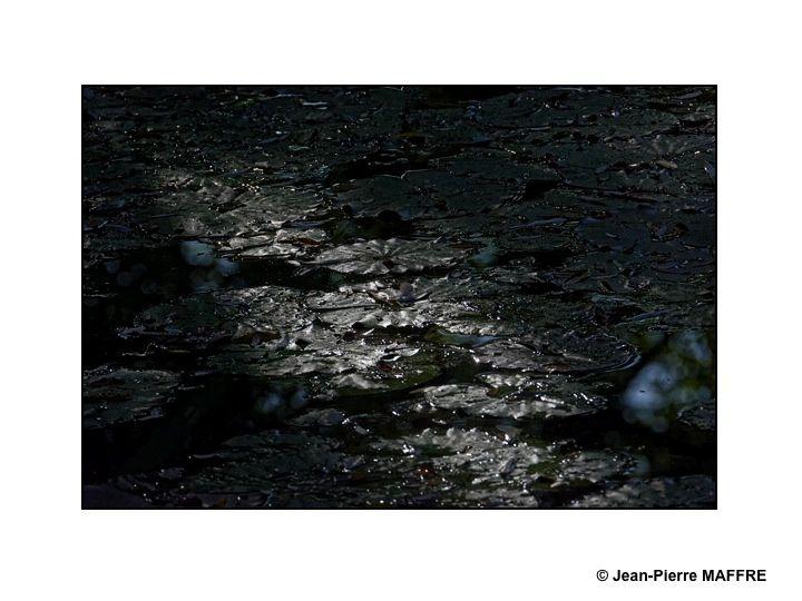 Une rencontre avec la lumière rasante du matin sur des nénuphars.
